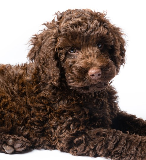Poodle X Puppies For Sale Nsw