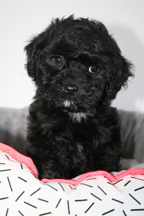 Tails R Wagging - Cavoodle Puppies For Sale - Toy & Miniature