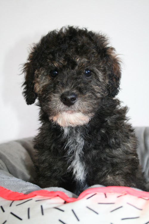 Tails R Wagging - Cavoodle Puppies For Sale - Toy