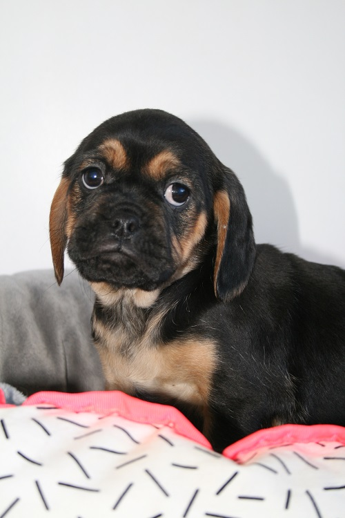 Pugalier Puppies for Sale - Sydney, Australia - Tails R Wagging