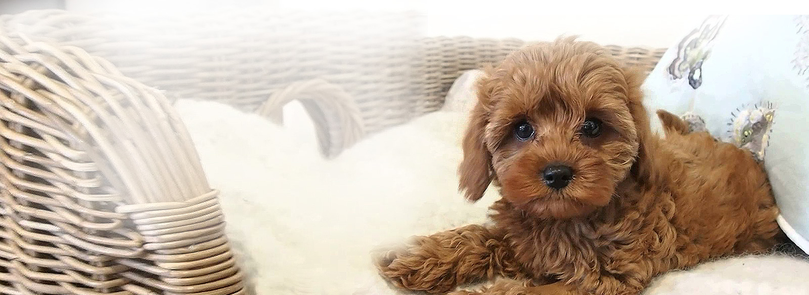 Tails R Wagging - Cavoodle Puppies For Sale - Toy ...